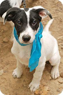 Border Collie/German Shorthaired Pointer Mix Puppy for adoption in Marietta, Georgia - Rex