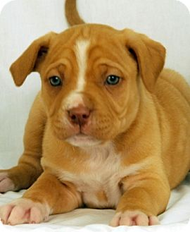 Pit Bull Terrier Mix Puppy for adoption in Newland, North Carolina - Journey