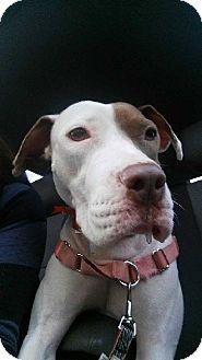 American Staffordshire Terrier Mix Dog for adoption in Phoenix, Arizona - Sadie