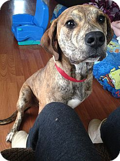 Bouvier des Flandres/Mastiff Mix Dog for adoption in Tillamook, Oregon - Bosco