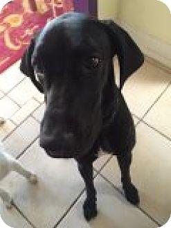 Great Dane Dog for adoption in Phoenix, Arizona - Frankie