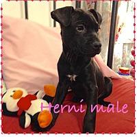 Adopt A Pet :: Herni - Lewisville, IN