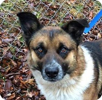 German Shepherd Dog Mix Dog for adoption in Plainfield, Connecticut - Bear