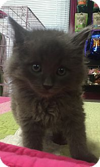 Domestic Longhair Kitten for adoption in Montclair, California - Dorian