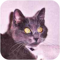 Domestic Shorthair Cat for adoption in Coleraine, Minnesota - Sugar