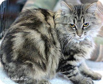 Domestic Longhair Cat for adoption in Bedford, Virginia - Amita