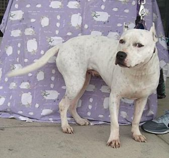American Pit Bull Terrier Mix Dog for adoption in Grand Prairie, Texas - Addie