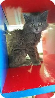 Domestic Mediumhair Kitten for adoption in Buena Vista, Colorado - Gracie