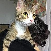 Domestic Shorthair Cat for adoption in Mission Viejo, California - Ellie Mae