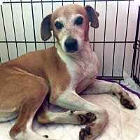 Adopt A Pet :: BRODY - LEXINGTON, KY