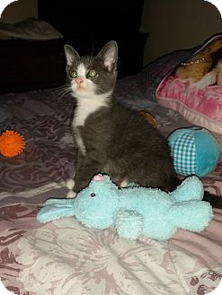 Domestic Shorthair Kitten for adoption in Medford, New Jersey - Puppet