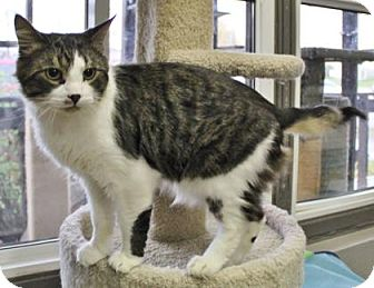 Domestic Mediumhair Cat for adoption in Port Hope, Ontario - Rodney