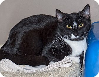 Domestic Shorthair Cat for adoption in Elmwood Park, New Jersey - Argo