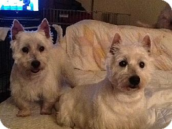 Westie, West Highland White Terrier Dog for adoption in Rye, New Hampshire - Mamie