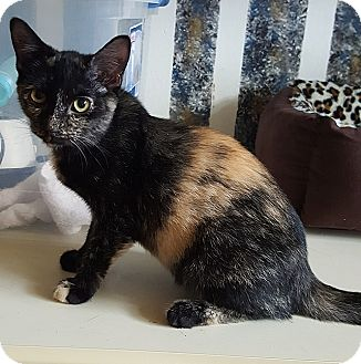 Domestic Shorthair Cat for adoption in Tampa, Florida - Joy