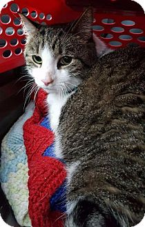 Domestic Shorthair Cat for adoption in Freeport, New York - Frankie