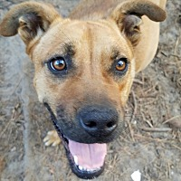 Boxer/American Pit Bull Terrier Mix Dog for adoption in Claxton, Georgia - Peaches