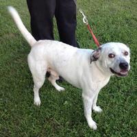 American Pit Bull Terrier/Dalmatian Mix Dog for adoption in Salem, Ohio - Cheech