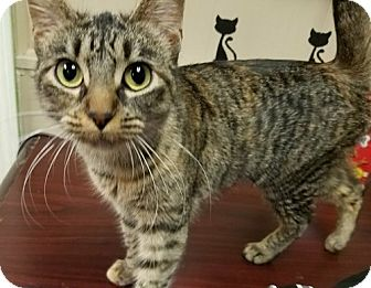 Domestic Shorthair Cat for adoption in Shreveport, Louisiana - Miss Argentina