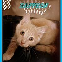Adopt A Pet :: Saffron - Berkeley Springs, WV