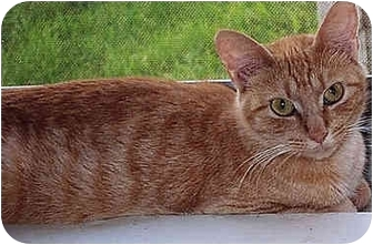 Domestic Shorthair Cat for adoption in Owatonna, Minnesota - Ginger