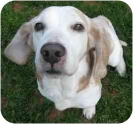 Beagle Mix Dog for adoption in Elk Grove, California - Tinker