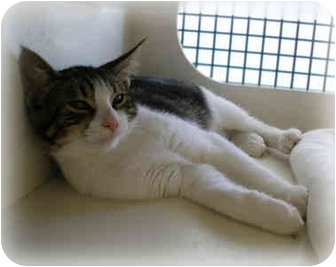 American Shorthair Kitten for adoption in Cranford, New Jersey - Timmy