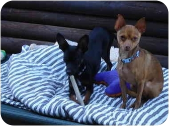 Miniature Pinscher Puppy for adoption in San Marcos, California - Tucker