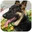 Photo 2 - German Shepherd Dog Puppy for adoption in Rigaud, Quebec - Zack