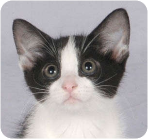 Domestic Mediumhair Kitten for adoption in Chicago, Illinois - Parsley