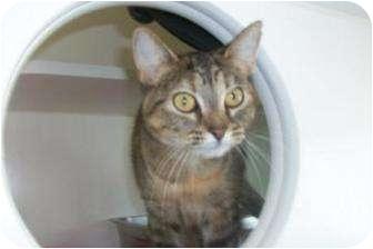 Domestic Shorthair Cat for adoption in Bradenton, Florida - Parker