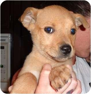 Shepherd (Unknown Type)/Husky Mix Puppy for adoption in Nuevo, California - Sandy