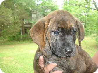 Labrador Retriever/Pointer Mix Puppy for adoption in Old Bridge, New Jersey - Caeli