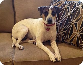 Boxer Mix Dog for adoption in East Hartford, Connecticut - Dorothy- local!