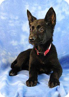 German Shepherd Dog Mix Puppy for adoption in Westminster, Colorado - Volens
