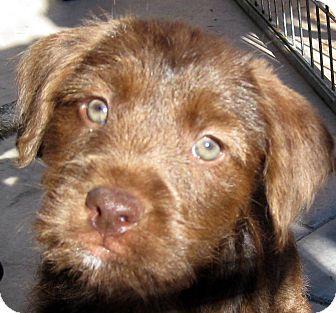 Labrador Retriever/Petit Basset Griffon Vendeen Mix Puppy for adoption in Oakley, California - Baby Cora