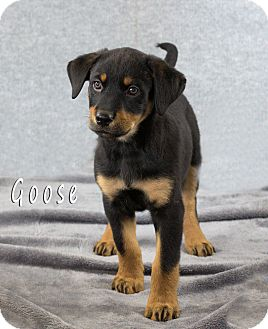 Labrador Retriever/Rottweiler Mix Puppy for adoption in Chester, Maryland - Goose