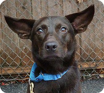 Chihuahua/Labrador Retriever Mix Dog for adoption in Carmel, New York - Dewey