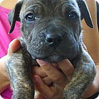 Adopt A Pet :: Kaba so cute - Sacramento, CA