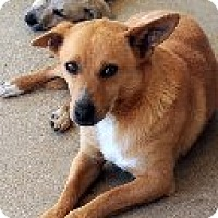Corgi Mix Dog for adoption in Las Vegas, Nevada - Red Rover