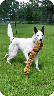 Husky/Cattle Dog Mix Dog for adoption in Conroe, Texas - Elsa