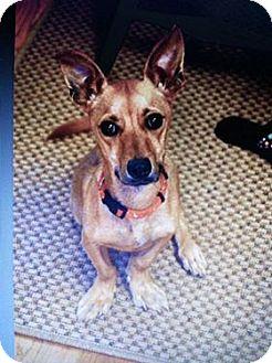 Dachshund/Chihuahua Mix Dog for adoption in Buford, Georgia - Minnie: See Video!!