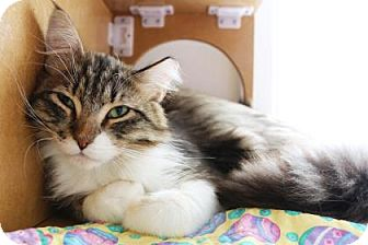 Domestic Longhair Cat for adoption in Bellevue, Washington - Perty