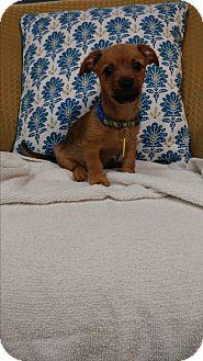 Cairn Terrier/Dachshund Mix Puppy for adoption in Davie, Florida - Charlie