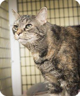 Domestic Shorthair Cat for adoption in Denver, Colorado - Hunter