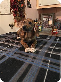 Labrador Retriever/Boxer Mix Puppy for adoption in Glastonbury, Connecticut - Jasper
