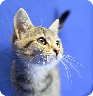Domestic Shorthair Kitten for adoption in Winston-Salem, North Carolina - Harly