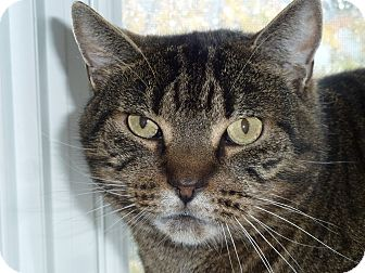 Domestic Shorthair Cat for adoption in Toronto, Ontario - Andy