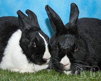 Dutch for adoption in Pflugerville, Texas - Ryo-Ohki, Thumbprint