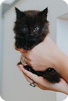 Domestic Longhair Kitten for adoption in Seneca, South Carolina - Duchess $75